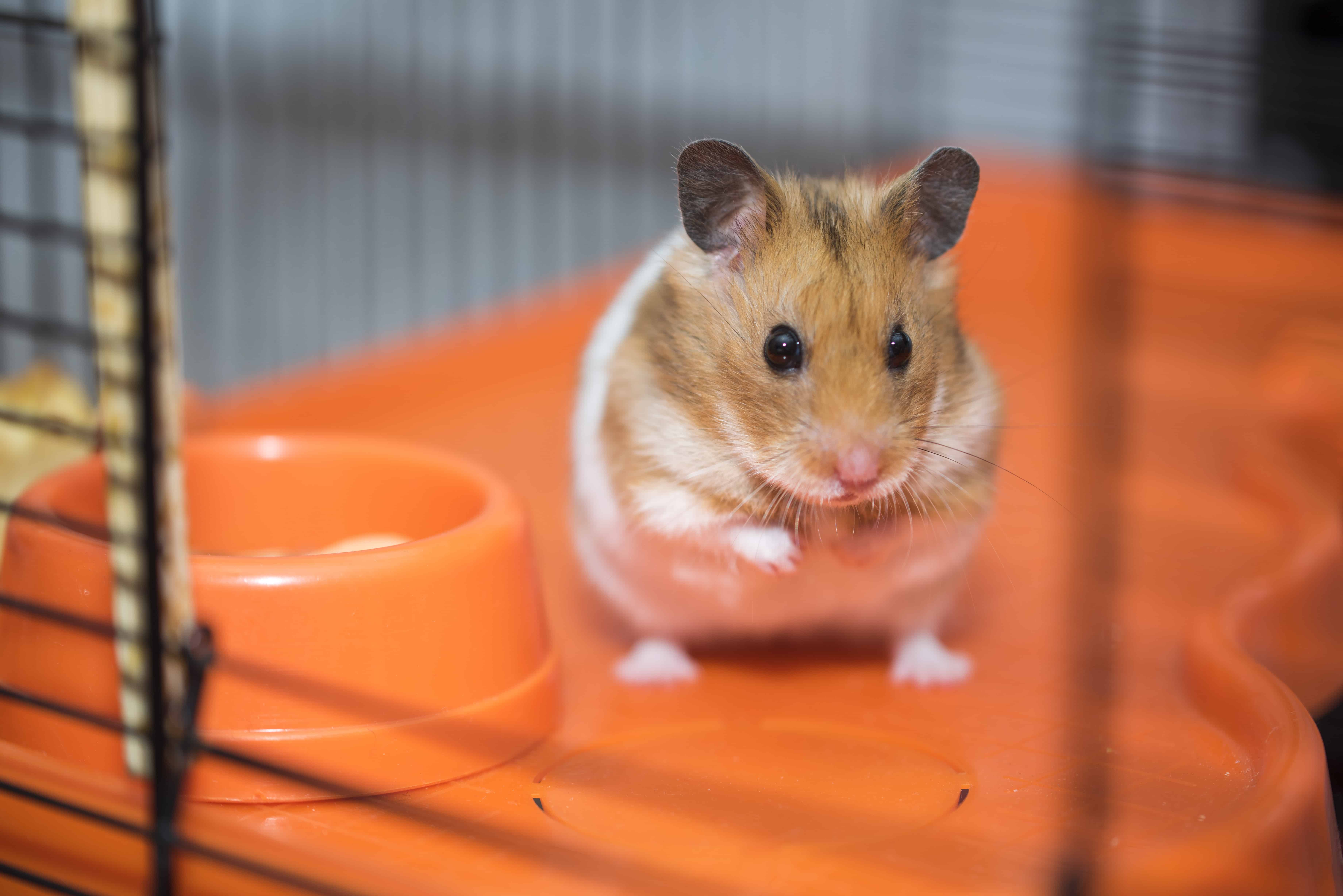 Hamsterkooi: Wat zijn de beste hamsterkooien van 2020?