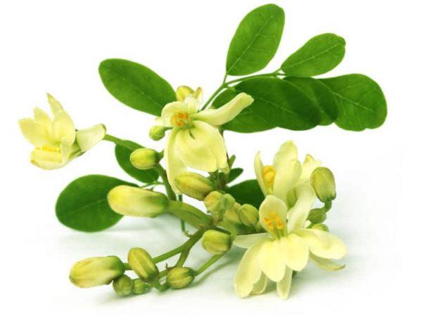 De bloem van de Moringa kan gegeten worden en heeft veel voordelen voor de gezondheid.  <br></noscript>(Bron: Choudhury: 27422822/ 123rf.com)