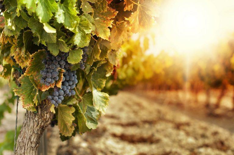 De la calidad de la uva depende la calidad del vino