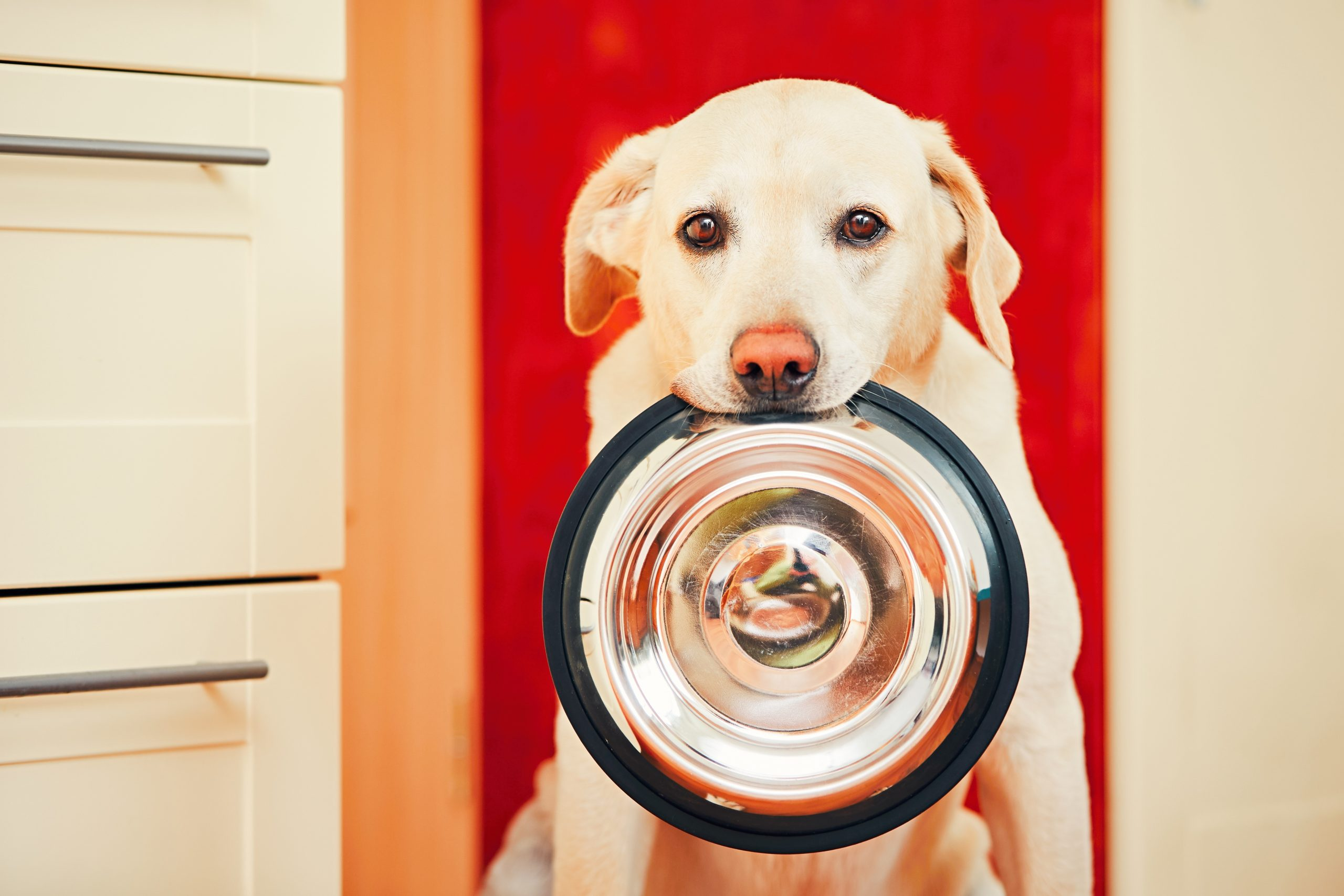 Dog is waiting for feeding.