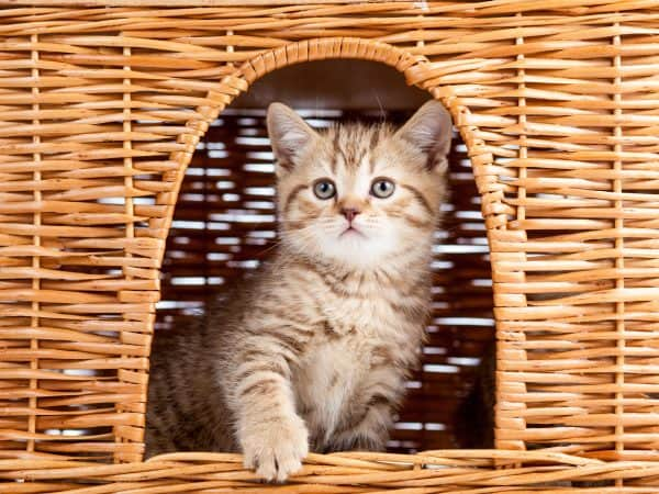 funny little Scottish kitten sitting inside wicker cat house