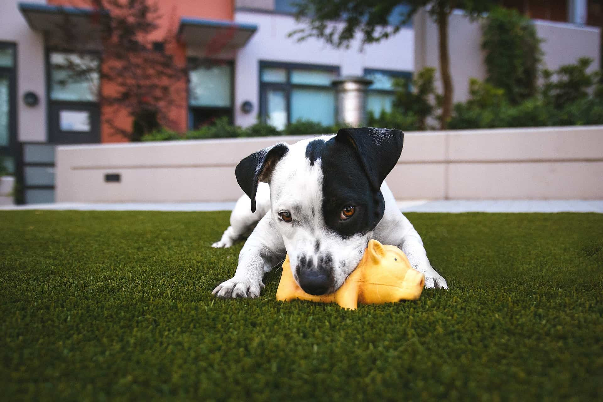 hond spelen op gazon