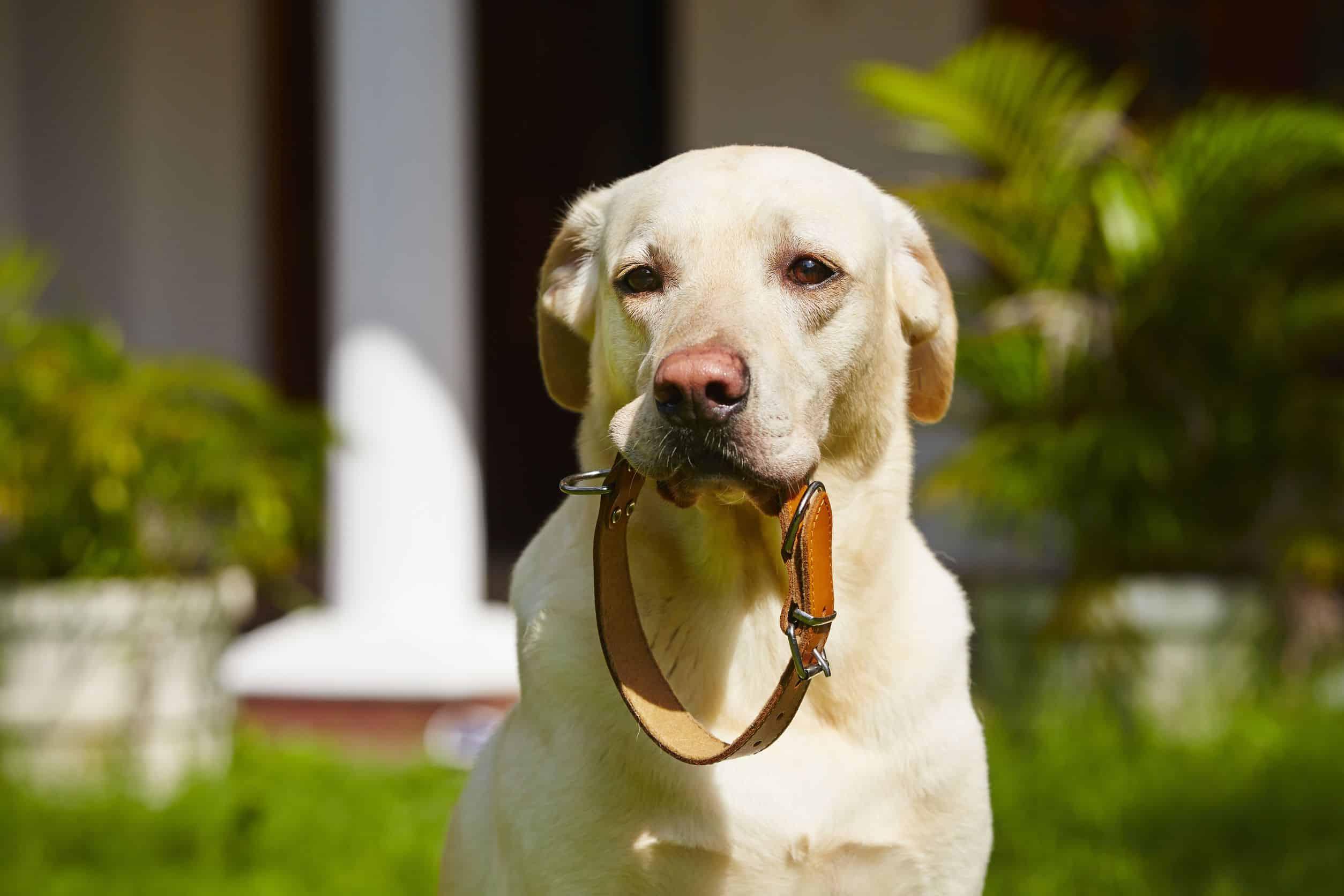 hond met een halsband
