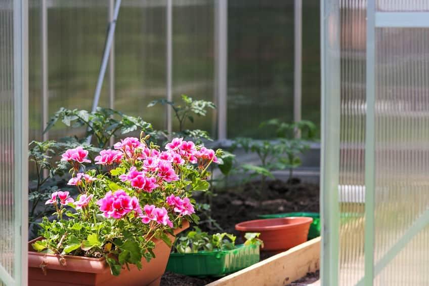roze bloemen in kas