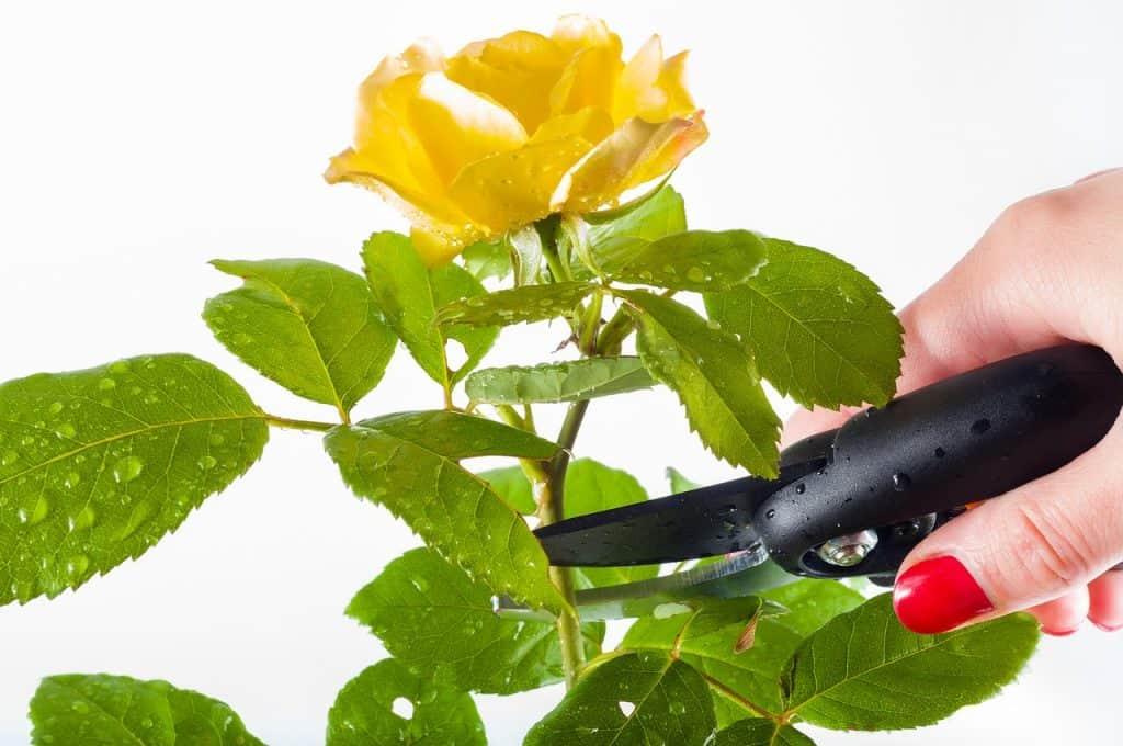 Na foto a mão de uma pessoa com uma tesoura de poda em uma rosa amarela.